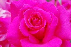 July 2010 hot pink rose courtesy stock exchange mightylinksfo